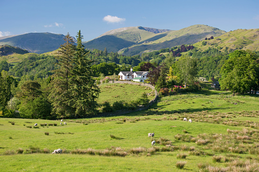 Rolling Landscape「Sheep grazing in lush meadow, Elterwater, Lake District National Park, Cumbria, England, UK」:スマホ壁紙(3)