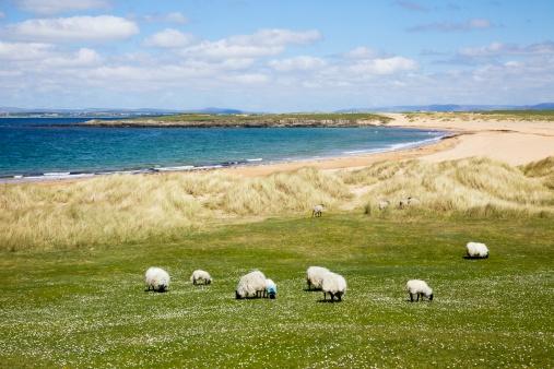 アキル島「Sheep Grazing In A Field Along The Coast」:スマホ壁紙(7)