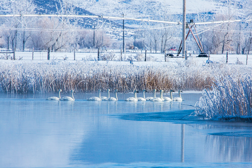 The Nature Conservancy「Swans swimming in snowy rural lake」:スマホ壁紙(15)