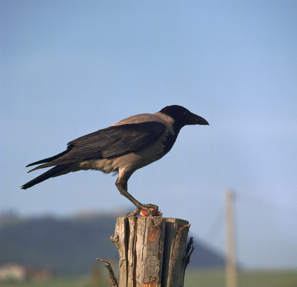 Perching「Hooded crow.」:写真・画像(8)[壁紙.com]