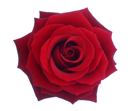 Single Flower「Entire deep red rose in close-up.」:スマホ壁紙(8)