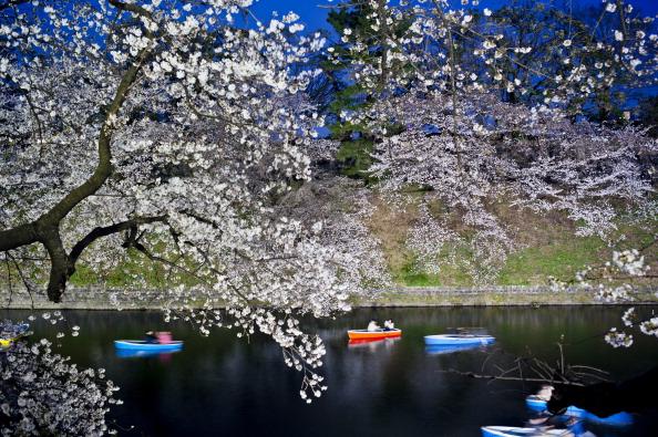 夜桜「Cherry Blossom In Full Bloom In Tokyo」:写真・画像(3)[壁紙.com]
