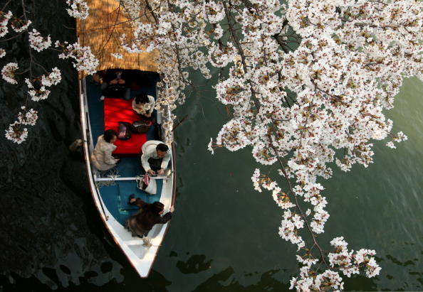 Cherry Blossom「Cherry Blossoms In Full Bloom In Japan」:写真・画像(8)[壁紙.com]