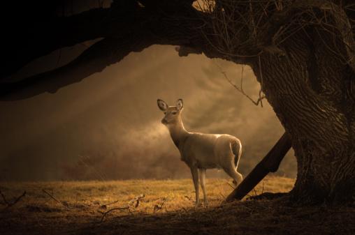 Doe「Deer on a cold winter morning」:スマホ壁紙(3)
