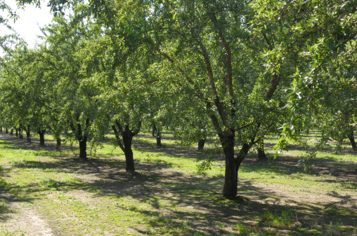 Grove「Central California Almond Orchard With Ripening Nuts on Trees」:スマホ壁紙(9)