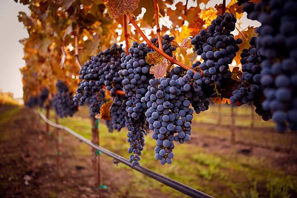 ripe grapes:スマホ壁紙(壁紙.com)