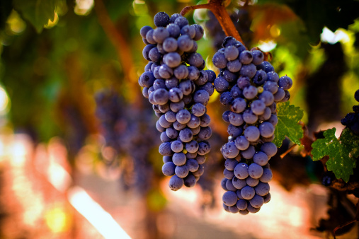 Saturated Color「ripe grapes」:スマホ壁紙(9)
