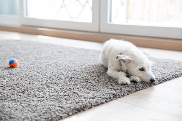 Litlle dog lying on carpet in the living room:スマホ壁紙(壁紙.com)