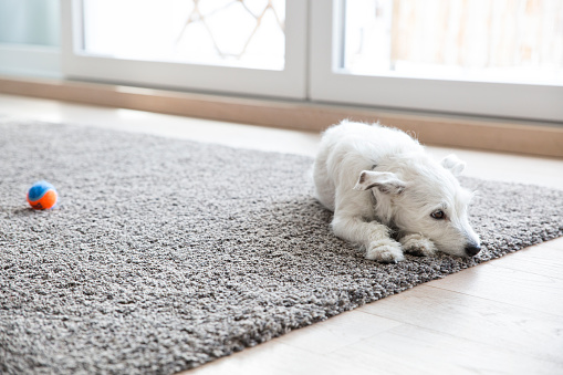 Waiting「Litlle dog lying on carpet in the living room」:スマホ壁紙(19)
