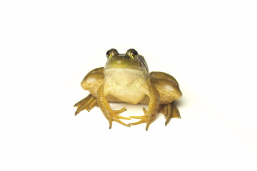Crouching「Frog on White」:スマホ壁紙(13)