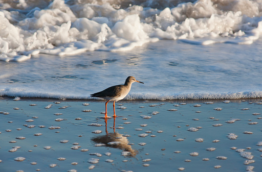 Shallow「Redshank (tringa totanus); northumberland england」:スマホ壁紙(8)
