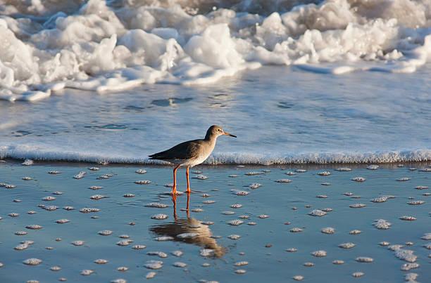 Redshank (tringa totanus); northumberland england:スマホ壁紙(壁紙.com)