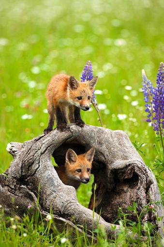 Mammal「Cute red fox pups play in field of flowers」:スマホ壁紙(10)