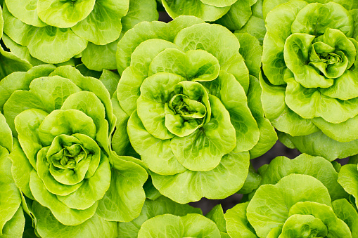 Lettuce「Lettuce growing in greenhouse」:スマホ壁紙(9)