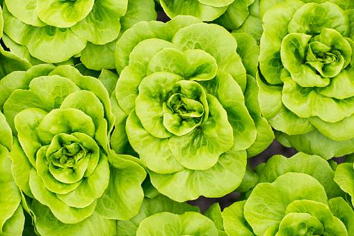 Growth「Lettuce growing in greenhouse」:スマホ壁紙(12)