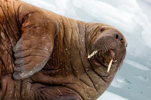 Animal Whisker「walrus portrait, Odobenus, Rosmarus, Spitzbergen, Svalbard」:スマホ壁紙(10)