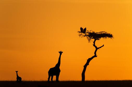 Giraffe「Female giraffe with baby at sunrise」:スマホ壁紙(15)