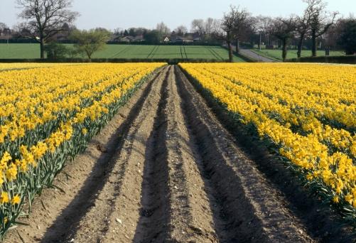 水仙「Rows of Bright Yellow Daffodils - Commercial Crop」:スマホ壁紙(17)