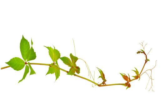 Creeper Plant「Wild Vine」:スマホ壁紙(16)