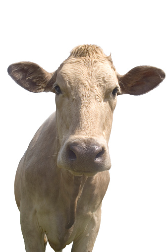 Cow「Cow on white background with clipping path」:スマホ壁紙(10)