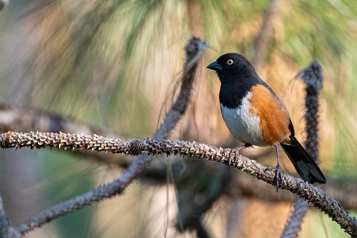 Ocala National Forest「Eastern Towhee - Florida Subspecies」:スマホ壁紙(9)