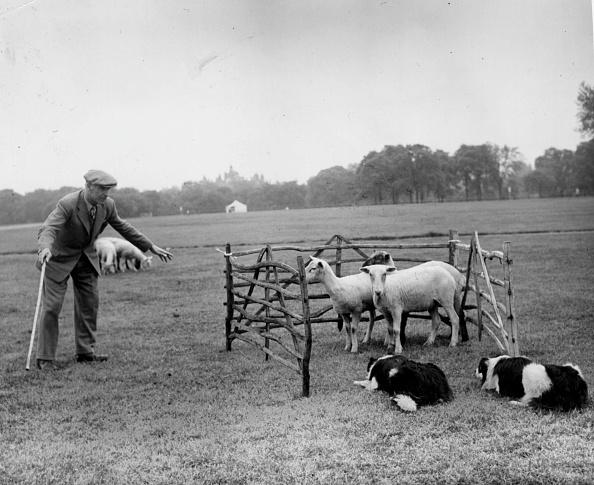 Livestock「Sheepdog Trials」:写真・画像(10)[壁紙.com]