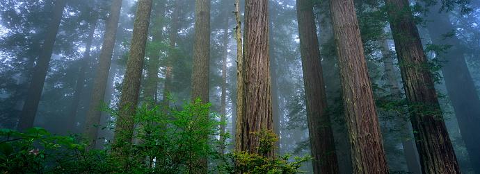 Grove「Redwood Forest in Lady Bird Johnson Grove」:スマホ壁紙(18)