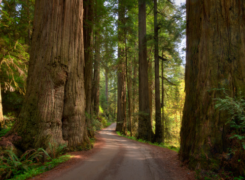 Redwood Forest「Redwood Forest on a Perfect Spring Day」:スマホ壁紙(15)