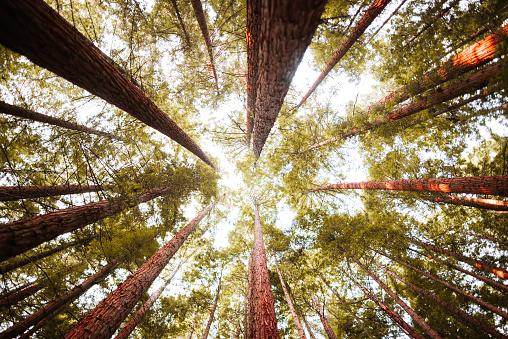 North America「Redwood forest」:スマホ壁紙(5)