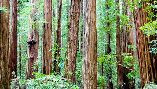 Eco Tourism「Redwood Forest」:スマホ壁紙(1)