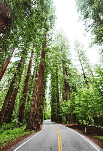 Avenue「Redwood forest in california」:スマホ壁紙(17)