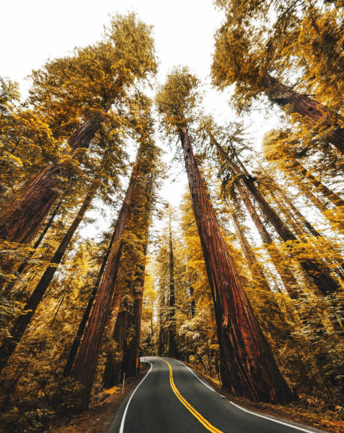 redwood forest in california:スマホ壁紙(壁紙.com)