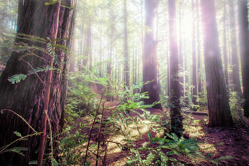 Big Sur「Redwood forest with glowing sunlight and fog through the trees」:スマホ壁紙(1)