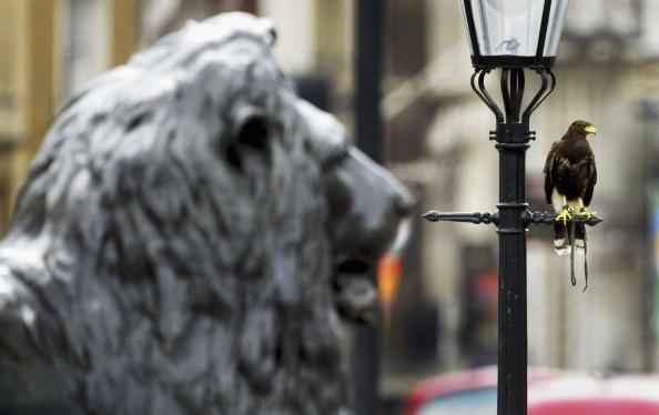 Animals Hunting「GBR: Harris Hawks Used To Control Pigeons In London Buildings」:写真・画像(11)[壁紙.com]