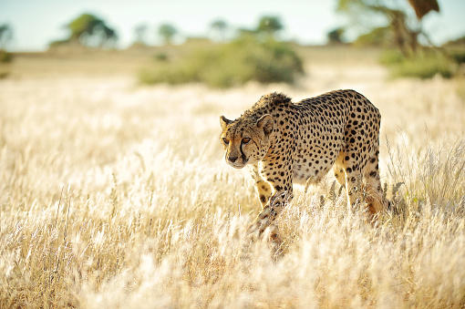 Namibia「Side front view Cheetah approaching in golden grass」:スマホ壁紙(16)