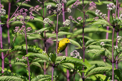 flower「Female yellow warbler in early July」:スマホ壁紙(2)