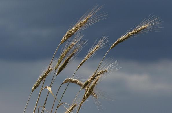 Grass Family「Wet Weather To Reduce German Grain Harvest」:写真・画像(5)[壁紙.com]