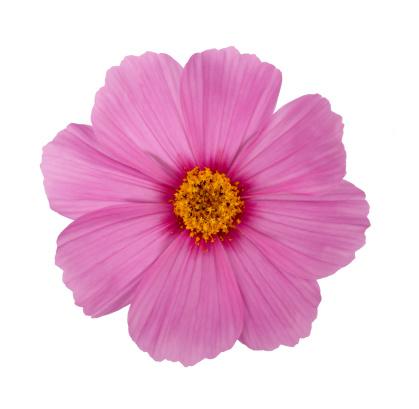 コスモス「Pollen laden stamens in a pale pink cosmos flower」:スマホ壁紙(14)