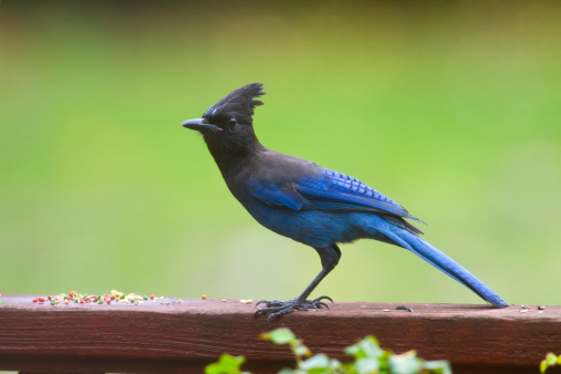 柿「Steller's Jay in Persimmon tree」:スマホ壁紙(17)