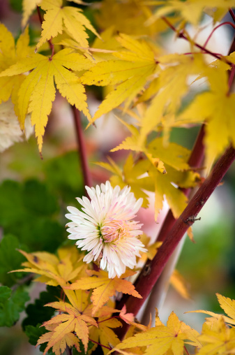 Japanese Maple「Fall in the Garden. 」:スマホ壁紙(9)
