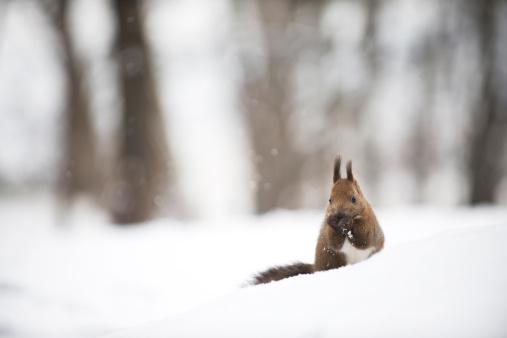 Squirrel「Squirrel in Winter」:スマホ壁紙(11)