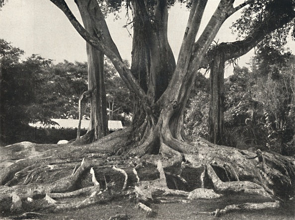 Tropical Tree「Gummibaume Wie Tafel 1」:写真・画像(7)[壁紙.com]