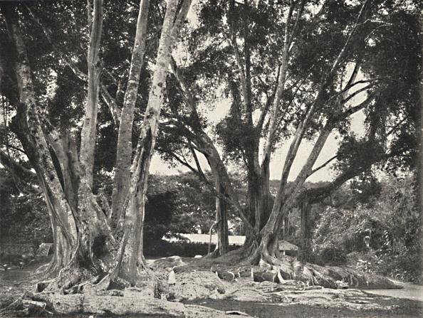Tropical Tree「Gummibaume (Ficus Elastica)」:写真・画像(6)[壁紙.com]