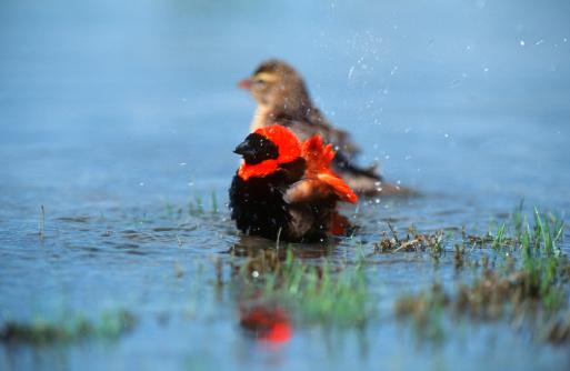 鳥「Red Bishop (Euplectes hordeaceus) Bathing in Shallow Water」:スマホ壁紙(17)