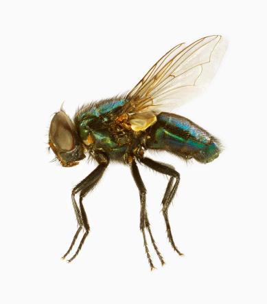 Animal Wing「Common House Fly」:スマホ壁紙(17)