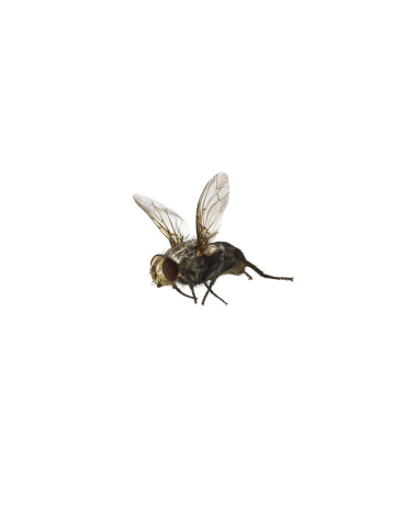 Fly - Insect「common housefly flying on white」:スマホ壁紙(19)
