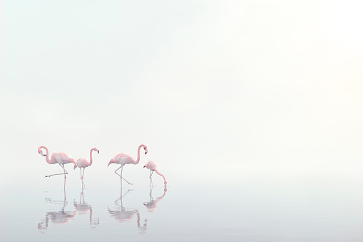 Three Quarter Length「Flamingos wading in foggy water」:スマホ壁紙(16)