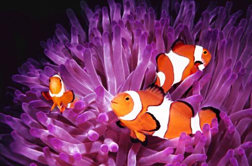 Clownfish「Fish: Topical saltwater, clownfish (Amphiprion Ocellaris)」:スマホ壁紙(5)