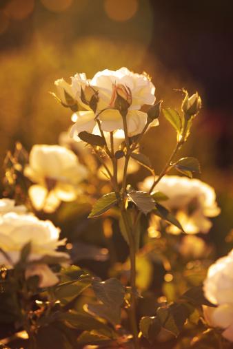 観賞用庭園「ロマンチックなローズゴールドの光」:スマホ壁紙(10)