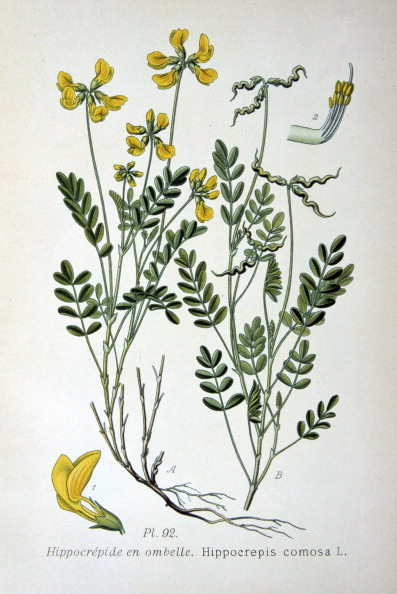 Stamen「Horseshoe vetch, 1893.」:写真・画像(12)[壁紙.com]